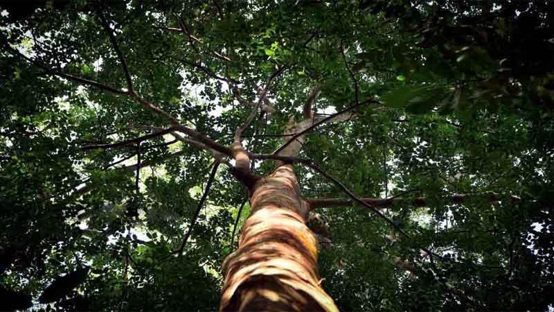 manfaat kayu merbau yang berasal dari Irian Jaya