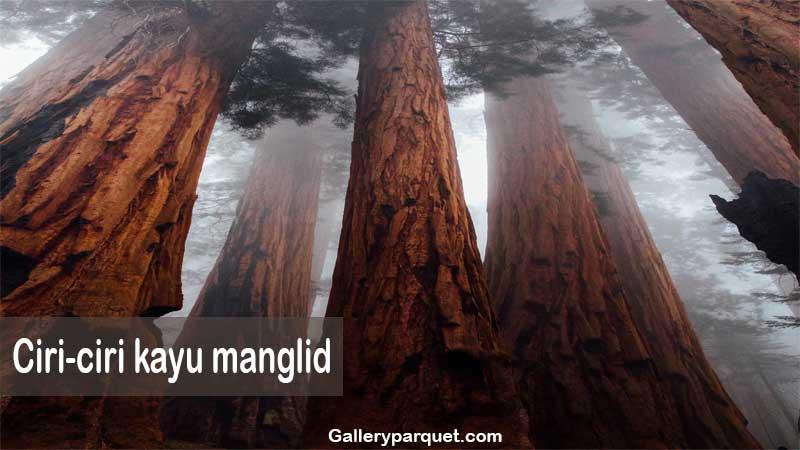 ciri-ciri kayu manglid