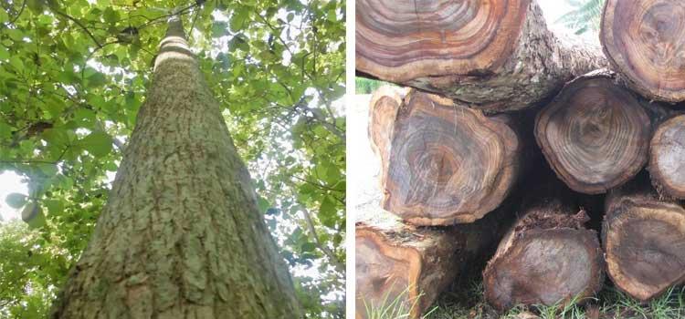 Gambar ini memiliki atribut alt yang kosong; nama berkasnya adalah pohon-sonokeling.jpg